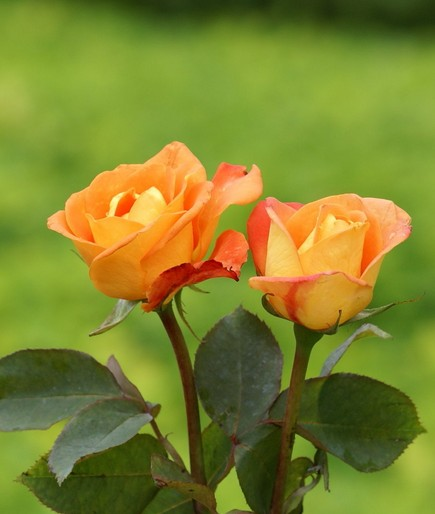 Orange roses are actually getting more popular to give out on Valentines day!