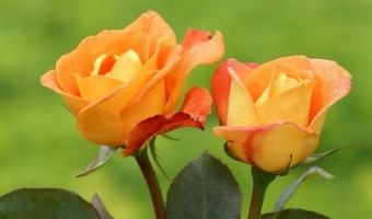 Rose Color Meanings Guide – Dating Advice